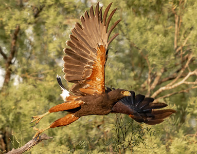 Harris Hawk takes flight