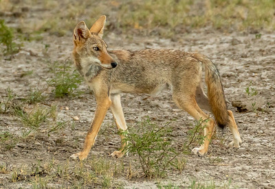Cautious Coyote nears game caller