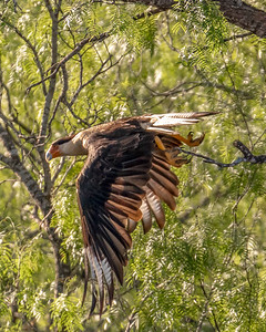 """Caracara """"fly by"""" checking out the predator call"""