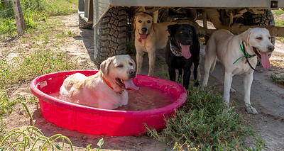 Scout, Gauge, Lucy(black) and Lucy(white) try to escape the 106 degree heat