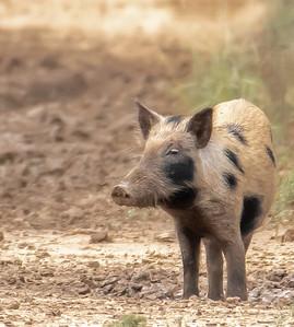 Feral Hogs were abundant