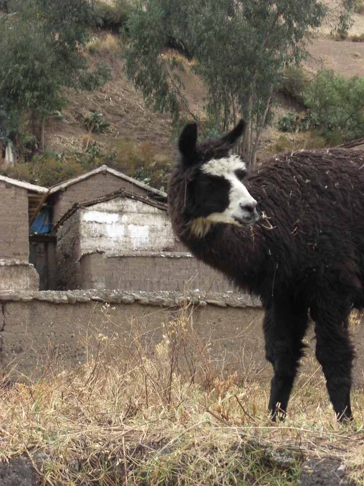 Llama at Chavin