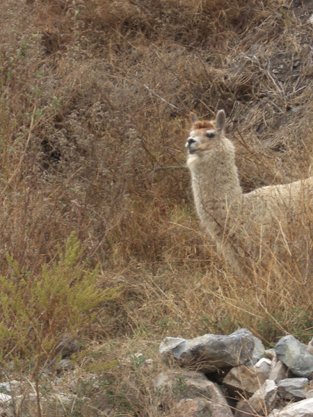 Our first llama sighting at the ruins in Chavin