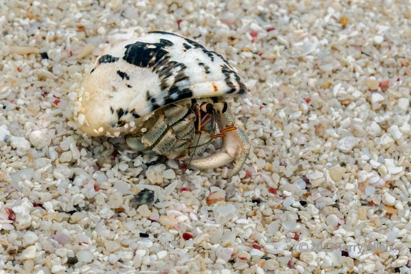 Hermit crab on shell beach, Simeulu Island, Sumatra