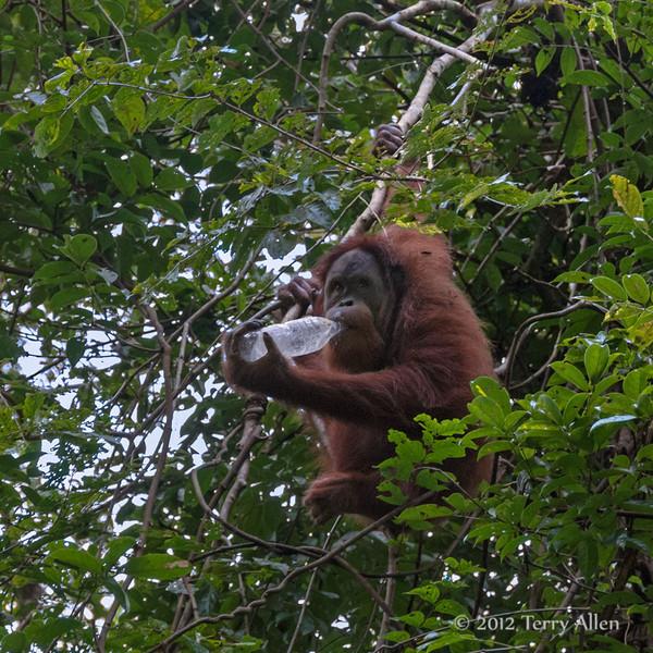 Ogangutan-drinking-from-water-bottle,-Bukit-Lawang,-NorthSumatra