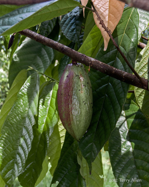 Theobroma-cacao-(food-of-the-gods),-Bukit Lawang,-North-Sumatra<br /> <br /> The cocao pods seem to be very popular with the ants