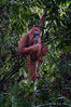 Thumbs-up,-orangutan-at-Bukit-Lawang-sanctuary,-North-Sumatra