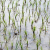 Young rice stalks with reflections, Solok West Sumatra