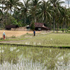 Rice paddies, Solok, West Sumatra