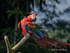 Scarlet macaw, Singapore bird park