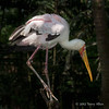 Painted stork, Singapore bird park
