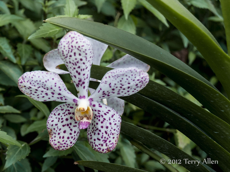 Orchids-4,-National-Orchid-House,-Singapore