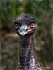 Baby ostrich, Singapore bird park