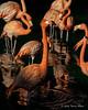 Flamingos, Singapore bird park