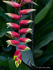 Heliconia,-National-Orchid-Garden,-Singapore