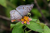 Butterfly-sipping-nectar,-Ujung-Kulong-National-Park,-West-Java
