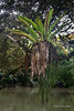Bird's nest fern hanging over the river, Ujung Kulong National Park, West Java, Indonesia