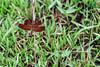 Red-grasshawk-dragonfly-2-(-Neurothemis-fluctuans),-Ujung-Kulong-NP,-West-Java