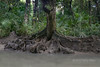 Rain forest tree with a buttressed root system, Ujung Kulong National Park, West Java, Indonesia