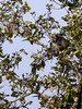 Macaque monkey in a tree top, Ujung Kulong National Park, West Java, Indonesia<br /> <br /> Macaque monkey in a tree top,