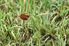 Red-grasshawk-dragonfly-(-Neurothemis-fluctuans),-Ujung-Kulong-NP,-West-Java