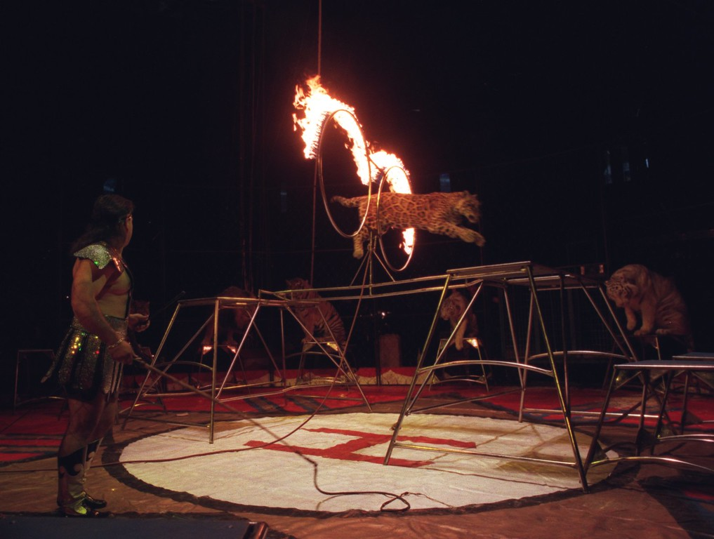 . Sir Lancelot\'s Cats performing at the Royal Hanneford Circus. Here, one of the large cats here jumps through a hoop of fire.