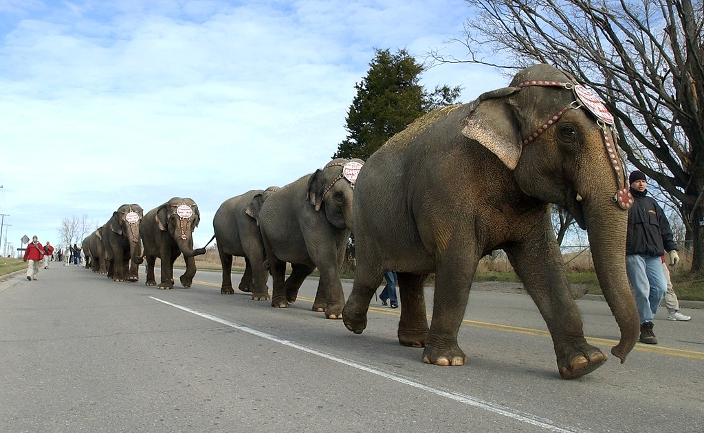 . Elephants walk down Giddings Road in Orion Twp., on their way to The Palace of Auburn Hills, for the upcoming 133rd Edition of the Ringling Bros. and Barnum & Bailey Circus, Tuesday November 9, 2004. The elephants walked a total of 3.8 miles from Lake Orion to Auburn Hills.