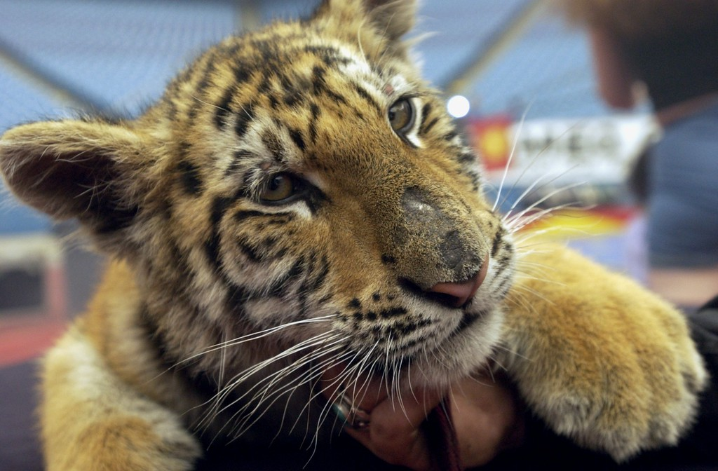 . Kira, a 3 &1/2 month old Bengal Tiger at the Schrine Circus Xtream at the Pontiac Silverdome.