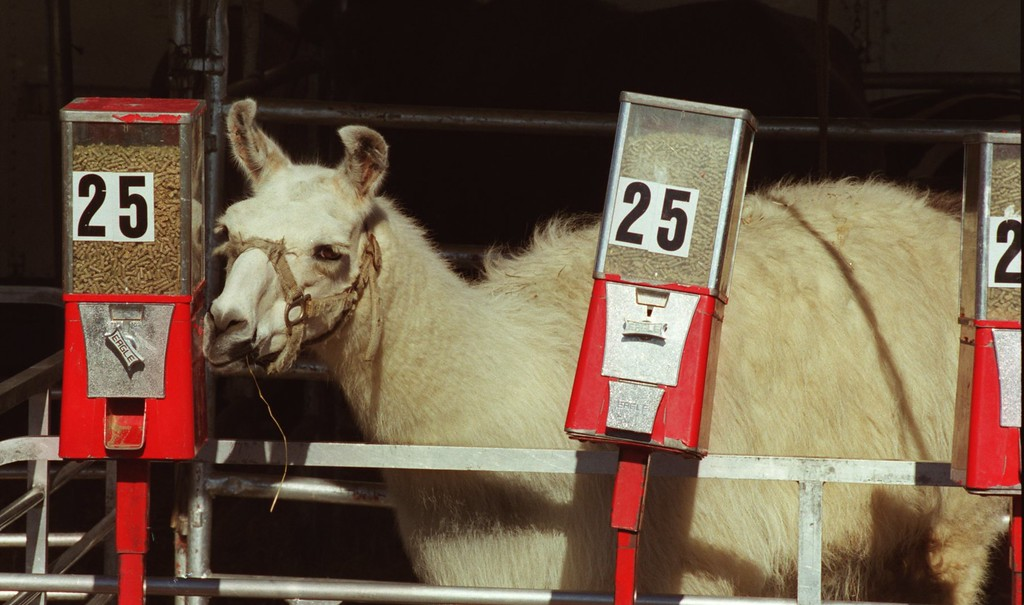 . A Llama tries to nudge some treats out of the a dispencer during the Carson Barnes 5-ring circus in Highland.