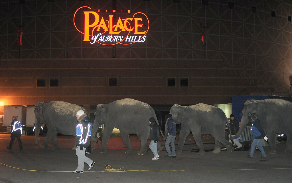 . Elephants walk outside The Palace as they head towards their living quarters.  They are part of the upcoming Ringling Bros. and Barnum & Bailey Circus, to be held at The Palace.  Photo taken on Monday, November 16, 2009, in Auburn Hills, Mich.  (The Oakland Press/Jose Juarez)