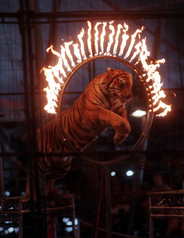 . A tiger goes through a ring of fire during a circus performance Friday afternoon.
