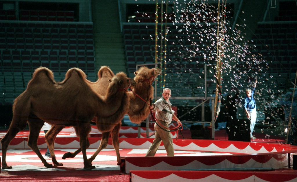 . A trainer leads two camels around the center ring as workers rehearse the Royal Hanneford Circus show, that opens Thursday, at the Palace of Auburn Hills.