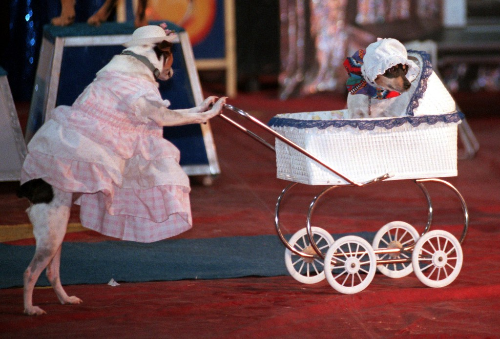 """. Two of the canine stars of the dog act \""""Tux & Tails\"""" push each other around in a baby buggy during a performance of the Cole Indoor Circus at Milford High last weekend."""