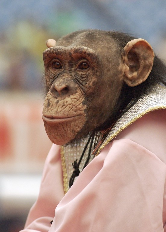 . Here a close up of one of the many chimps that performed at the Schrine Circus Xtream at the Pontiac Silverdome.