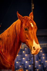Mammut - Sasha's American Saddlebred Horse