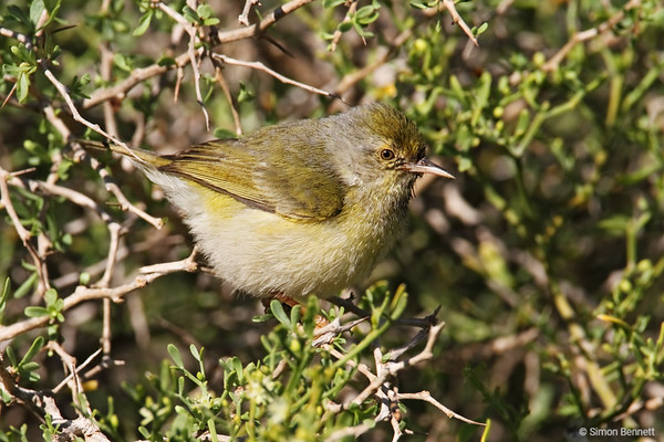 Cisticolas and Warblers