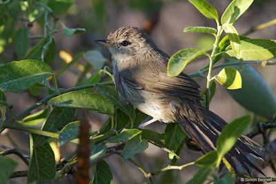 Subdesert Bush-Warbler