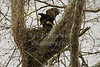 Saturday, April 6, 2013 - A family of Bald Eagles have taken up residence in Granville, Ohio, and recently hatched baby Eaglettes