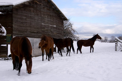 Horses are frisky in the snow