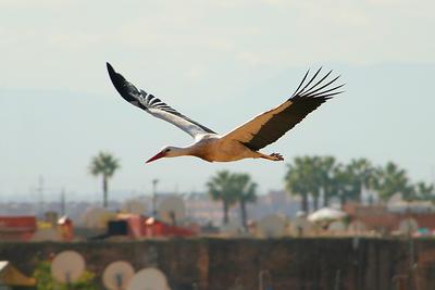 Stork, El Badi
