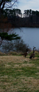 Geese at Lake Raleigh.