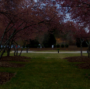 A pathway between flowering trees on Centennial Campus.