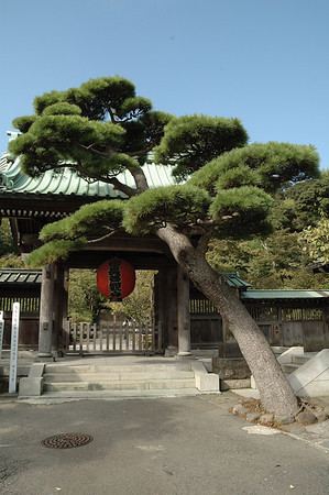 Pine tree and gate at Hasedera