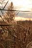Reeds & Cattails
