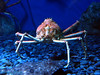 spider crab up close