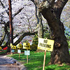 No parking when the cherry blossoms are out