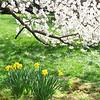 Fallen branch of a cherry blossom tree