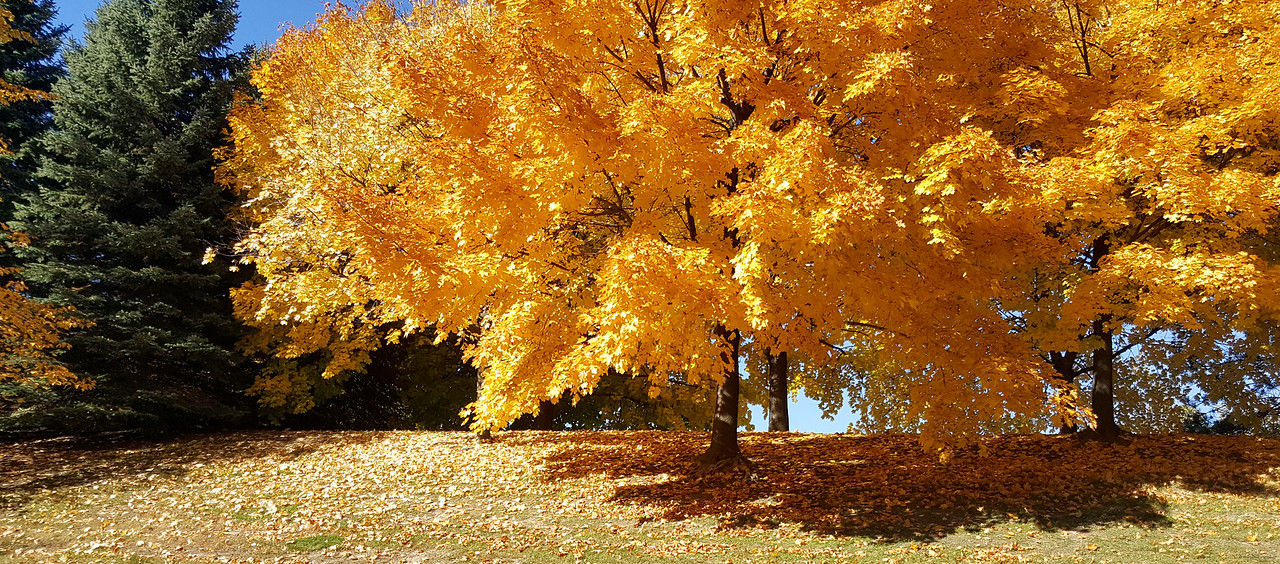 Blazing Gold during fall in Brampton