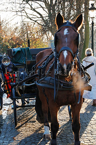 A horse and carriage that guide you through Bruges (Brugge), Belgium, on the Wijngaardplein. On this square the horses eat, drink and rest for awhile. The horse is eating and damp was coming out of the mouth due to the rather cold weather.
