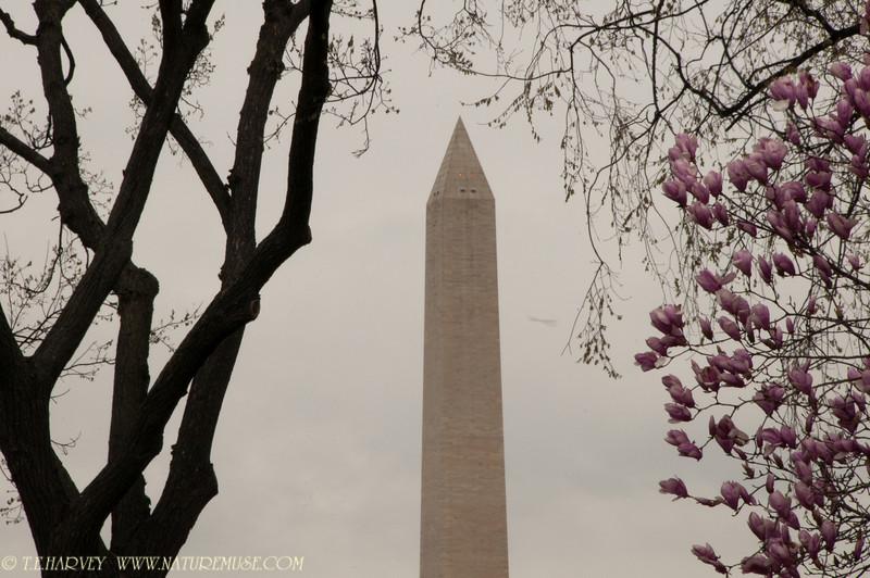 Washington Monument Cherry Blossom Festival